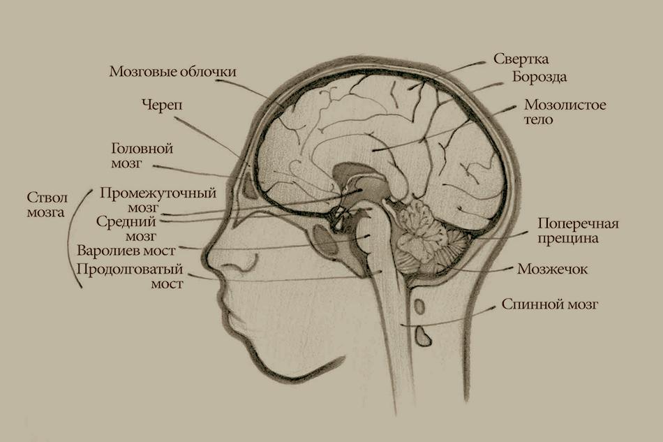 Как мозг реагирует на опасность. Защитный механизм
